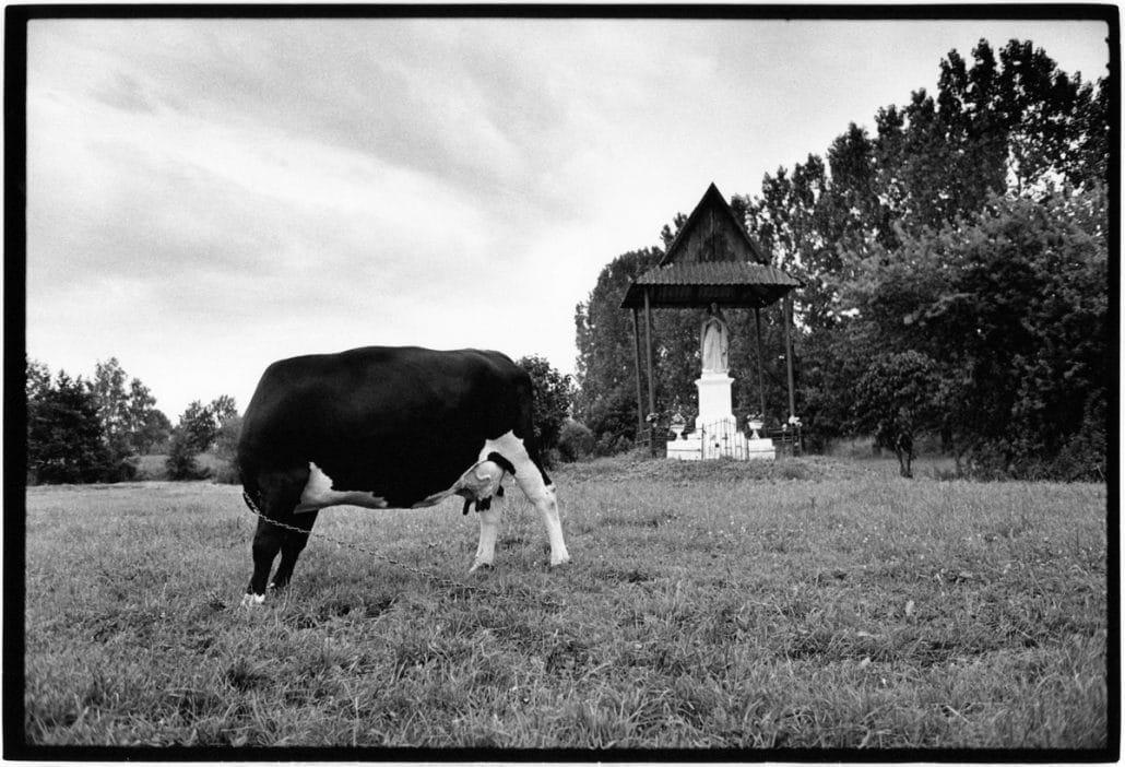 Photo and Copyright Roger Cremers 24.06.2002 Koe en Mariabeeld in een veldje nabij Kol Malkow te Polen (Poland).