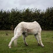Nederland, Puth, 22-09-2018 - FOTOGRAFIE VOOR BEEKDAELEN. - Vogelzang in Puth. Dieren (paard) op het erf van kunstenaar Remie van der Linde. - PHOTO AND COPYRIGHT ROGER CREMERS